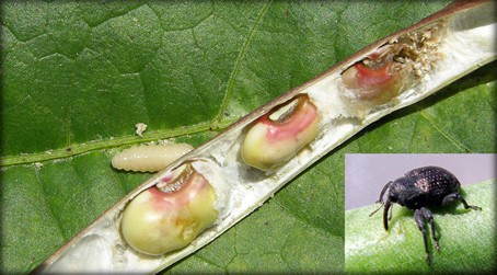 Cowpea curculio adult and larval damage to peas.